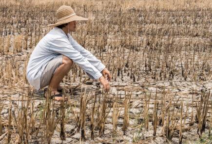Rice farmer in drought